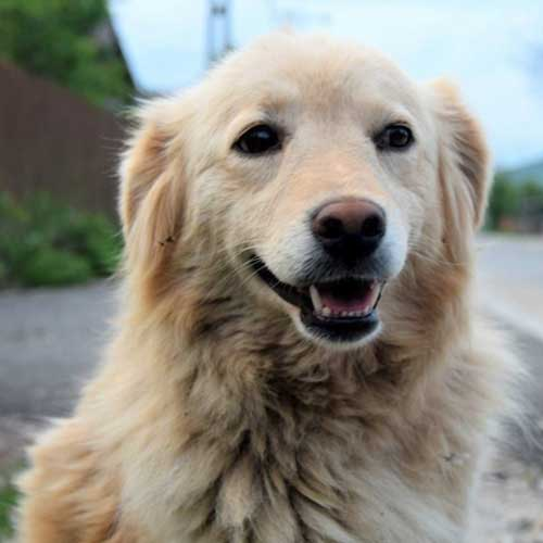Golden Retriever Dog Rescue